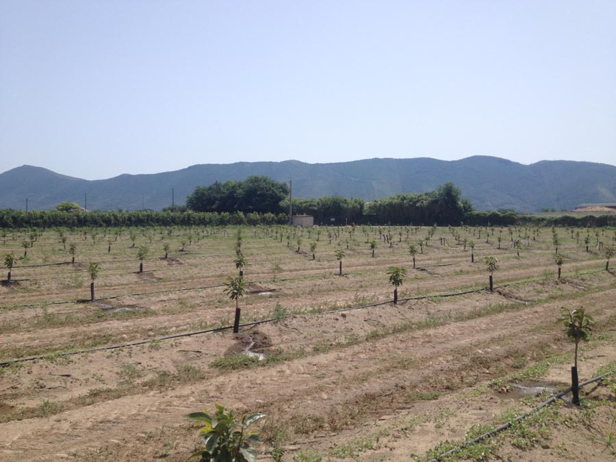 Persimmons' Fertigation in Italy