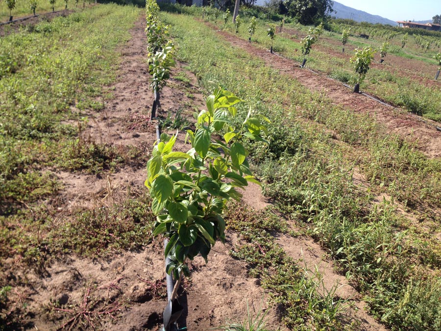New crops of Persimmons' trees