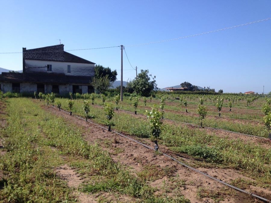 La coltivazioni di kaki ad agosto