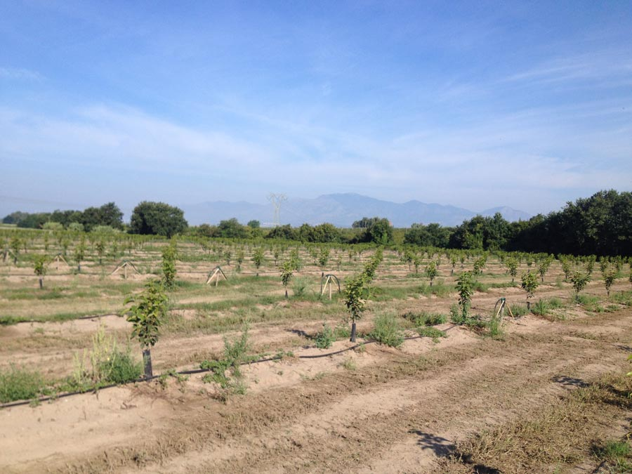 New persimmons' crops during august