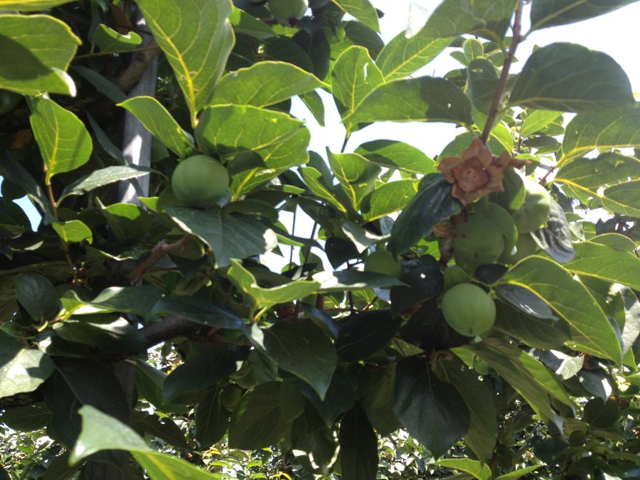 Kaki tipo Persimmons' crops in july