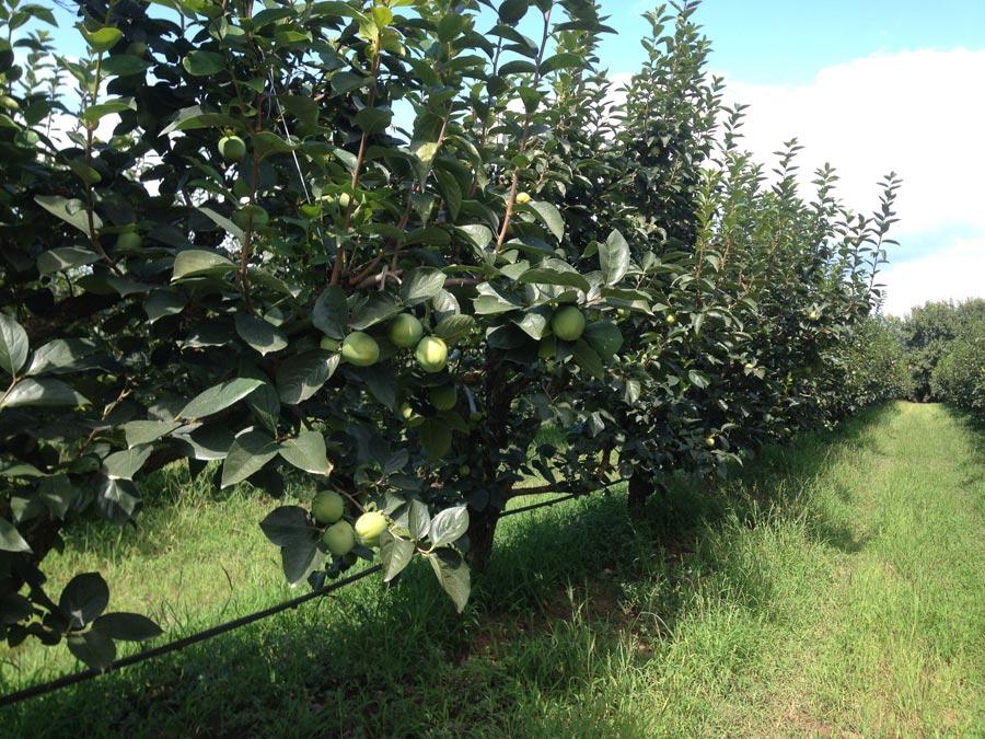 Coltivazione di cachi  allevati a palmetta a settembre