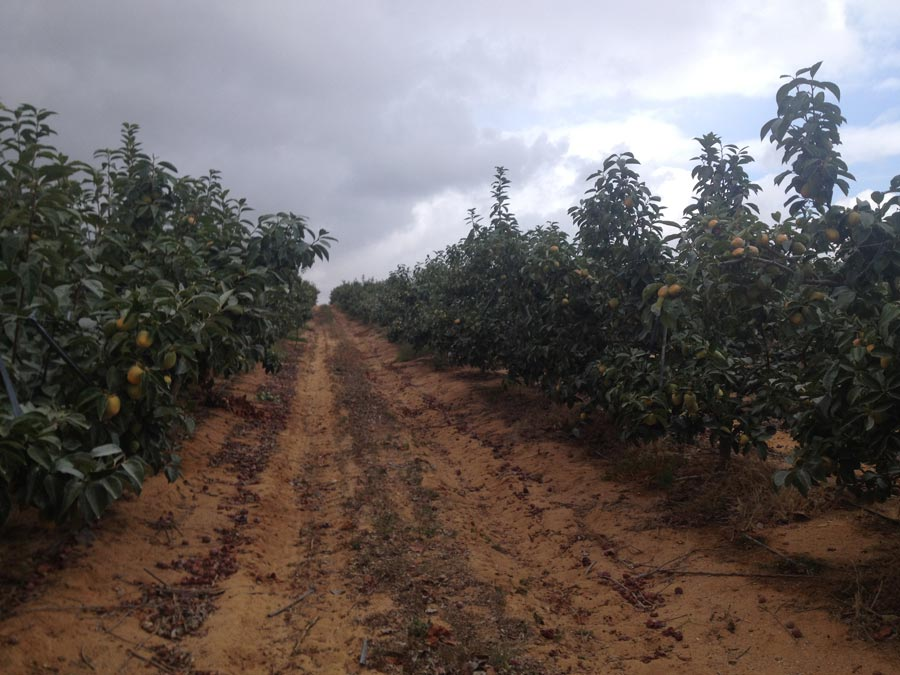 Persimmons crops in september