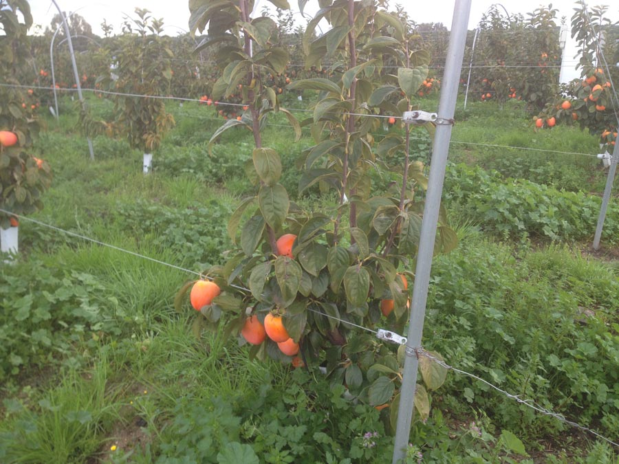 Persimmons in Sessa Aurunca waiting for harvesting