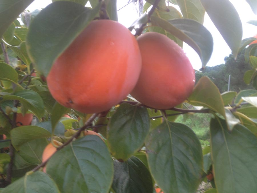 Royo brillante persimmons ready for harvesting