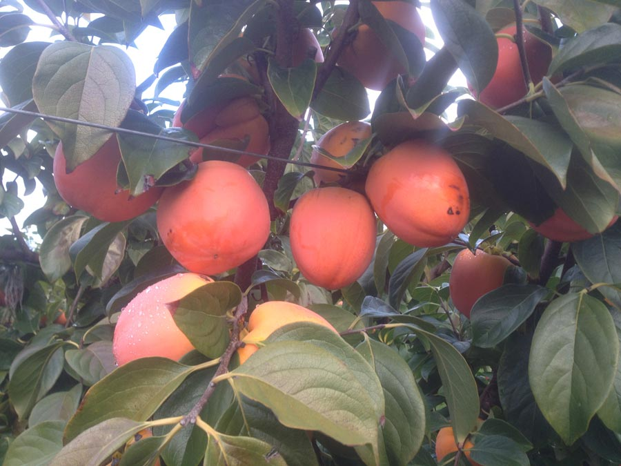 Persimmons crops in october
