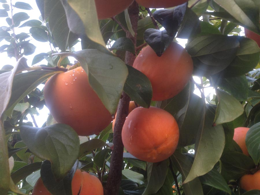 Campania's persimmons ready for harvesting