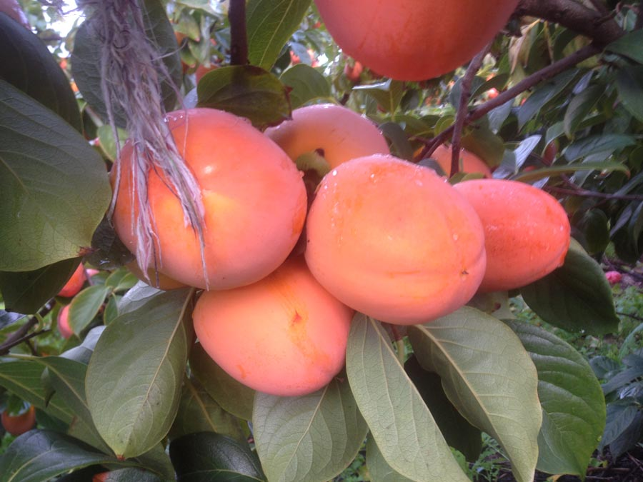 Persimmons ready for harvesting