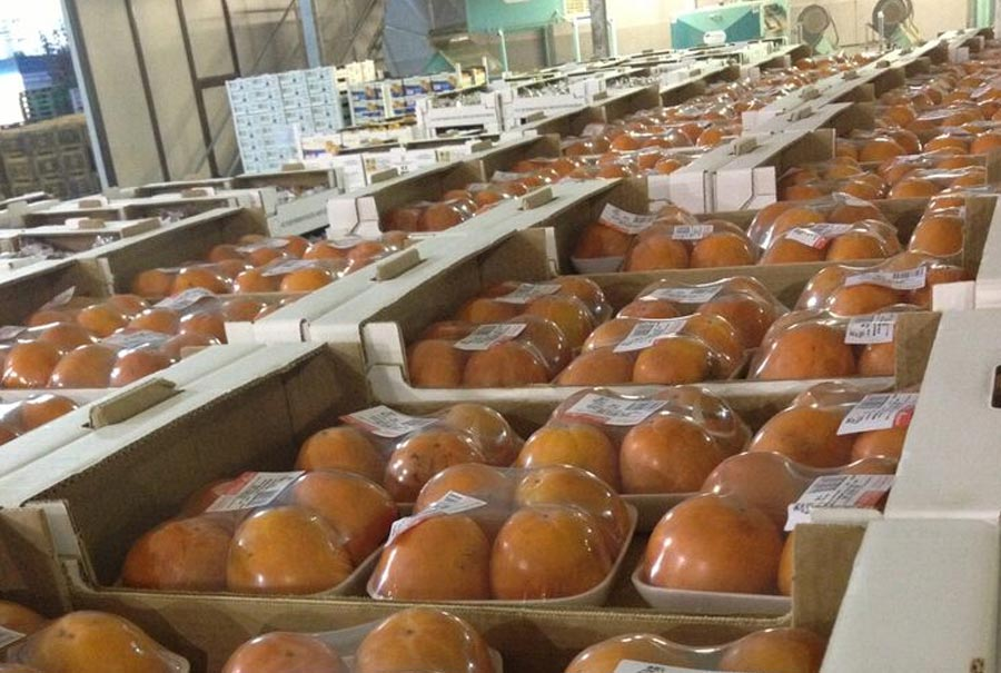 Italian persimmons packed in PVC