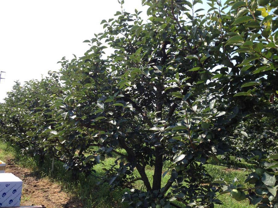 Persimmons' trees without exceeding fruits
