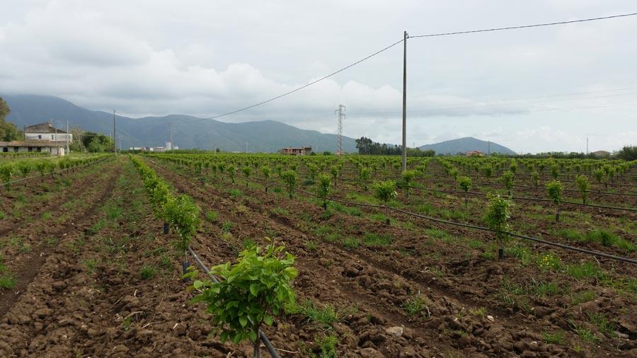 Collaudo impianto di irrigazione cachi