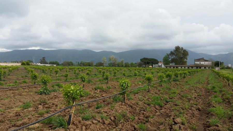 Test irrigazione campo di cachi