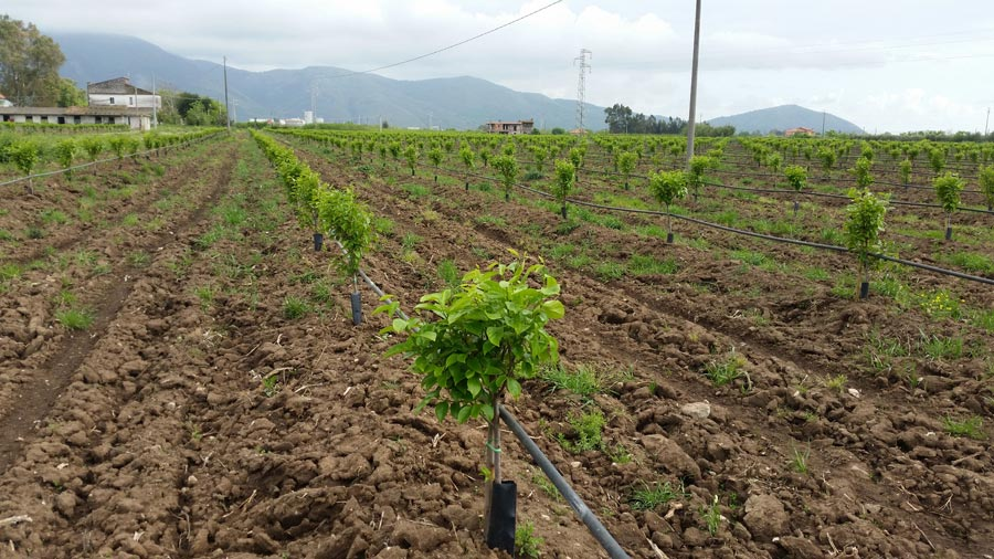 Irrigation system on new persimmons' crops in Italy