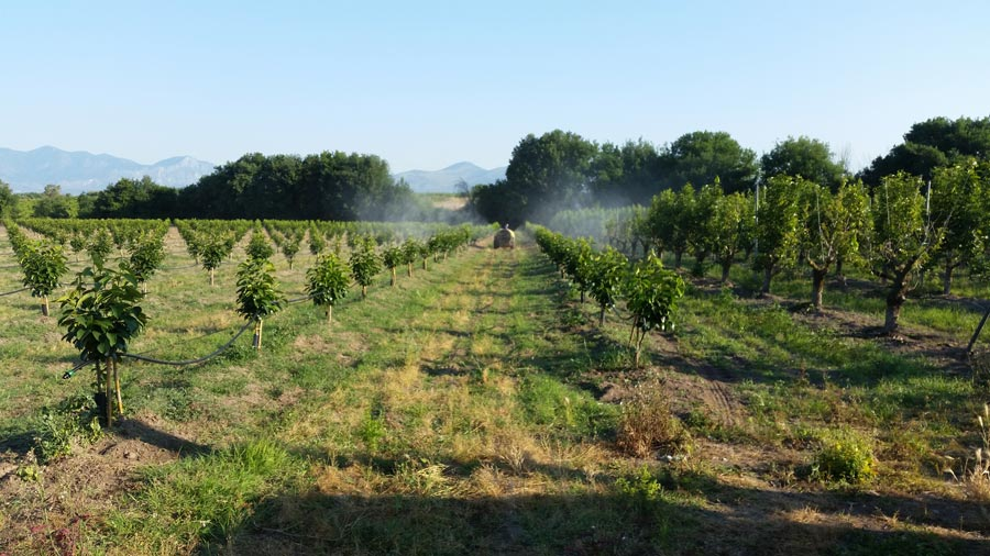 Working on persimmons' crops at Caserta