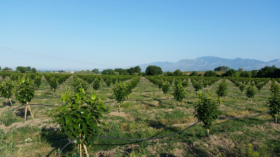 Persimmons' crops irrigation