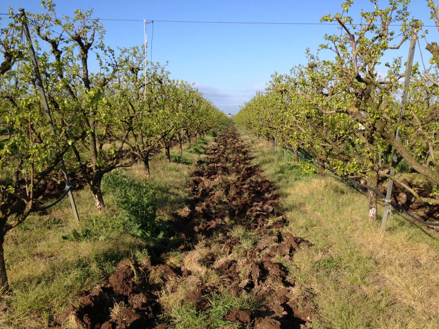 Persimmons' crops in Italy